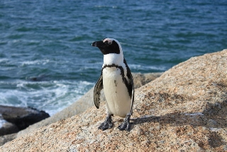 Jackass Pinguin