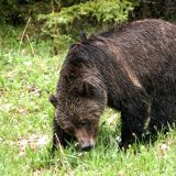Grizzly im Kootenay Lake P.P.